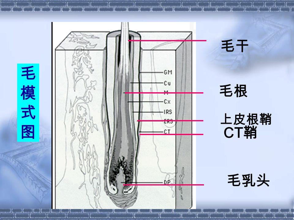 毛模式图毛模式图 毛干 毛根 上皮根鞘 CT 鞘 毛乳头