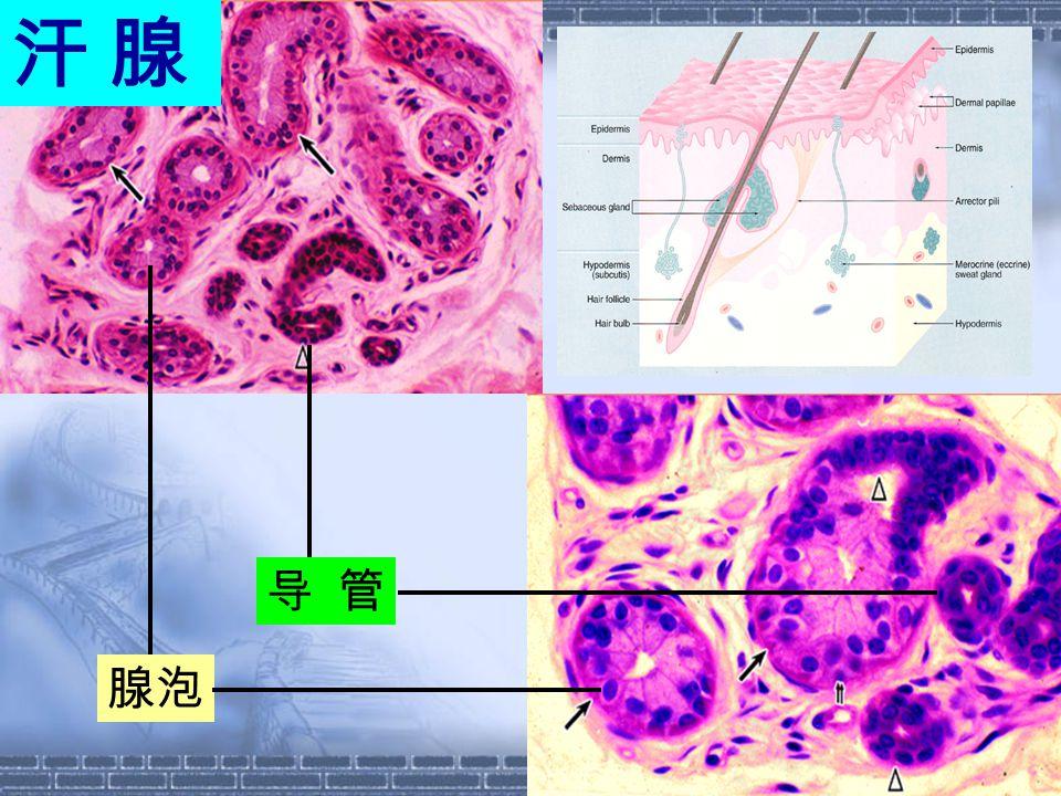 汗 腺汗 腺 导 管 腺泡