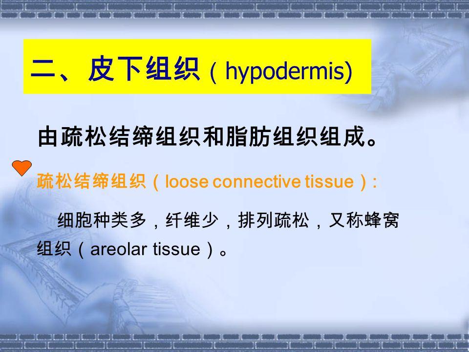 二、皮下组织 ( hypodermis) 由疏松结缔组织和脂肪组织组成。 疏松结缔组织( loose connective tissue ) : 细胞种类多,纤维少,排列疏松,又称蜂窝 组织( areolar tissue )。