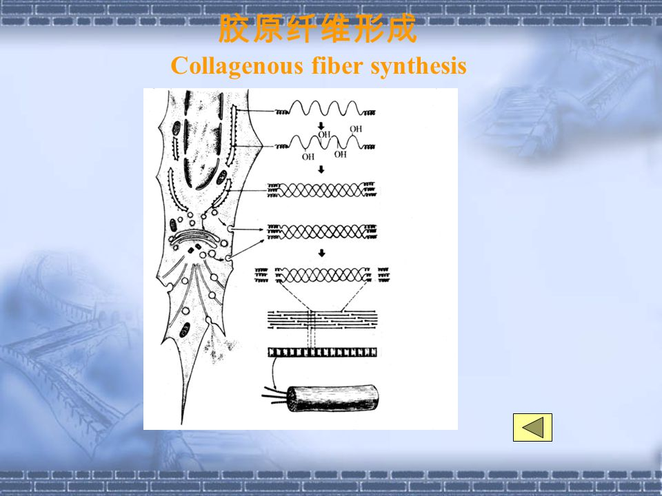 胶原纤维形成 Collagenous fiber synthesis