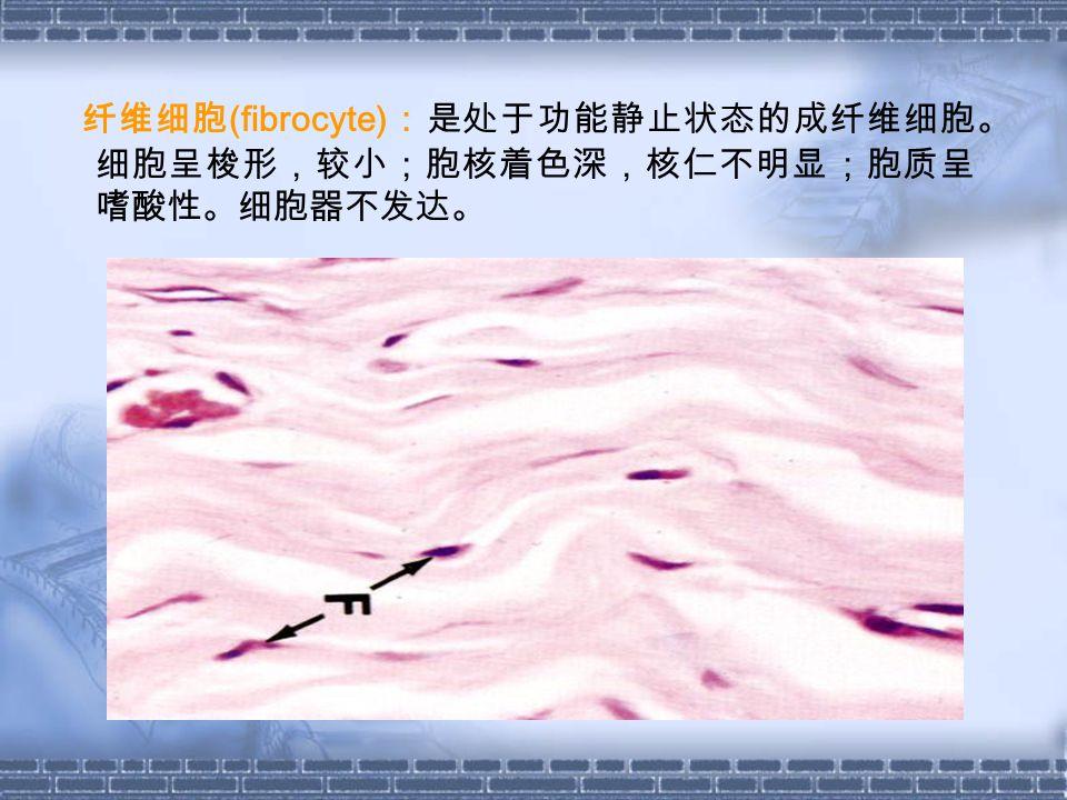纤维细胞 (fibrocyte) :是处于功能静止状态的成纤维细胞。 细胞呈梭形,较小;胞核着色深,核仁不明显;胞质呈 嗜酸性。细胞器不发达。