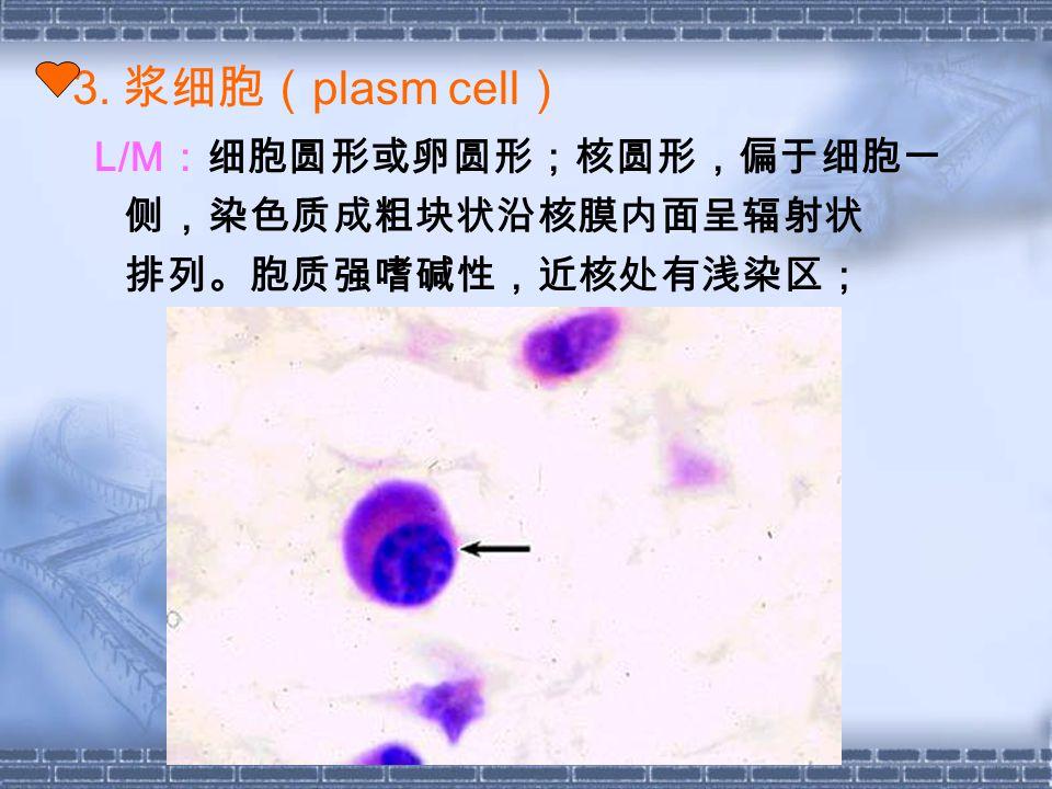 3. 浆细胞( plasm cell ) L/M :细胞圆形或卵圆形;核圆形,偏于细胞一 侧,染色质成粗块状沿核膜内面呈辐射状 排列。胞质强嗜碱性,近核处有浅染区;
