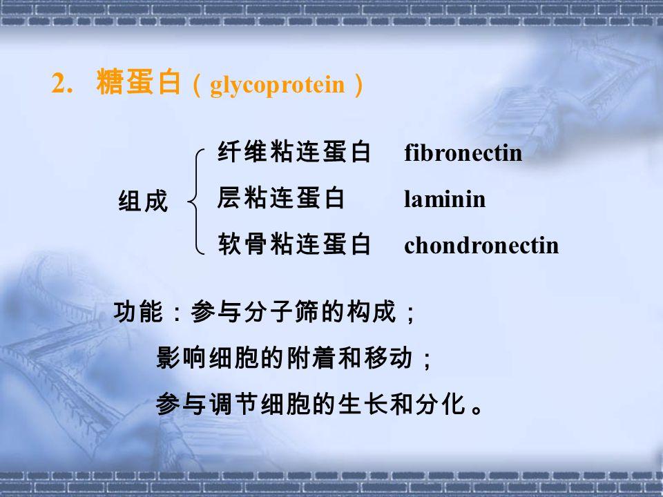 2. 糖蛋白 ( glycoprotein ) 纤维粘连蛋白 fibronectin 层粘连蛋白 laminin 软骨粘连蛋白 chondronectin 功能:参与分子筛的构成; 影响细胞的附着和移动; 参与调节细胞的生长和分化 。 组成