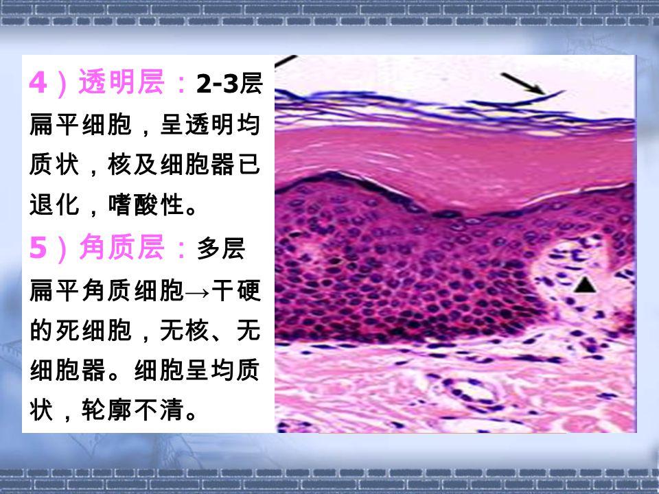 4 )透明层: 2-3 层 扁平细胞,呈透明均 质状,核及细胞器已 退化,嗜酸性。 5 )角质层: 多层 扁平角质细胞 → 干硬 的死细胞,无核、无 细胞器。细胞呈均质 状,轮廓不清。