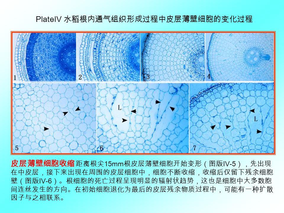 Plate Ⅳ 水稻根内通气组织形成过程中皮层薄壁细胞的变化过程 皮层薄壁细胞收缩 距离根尖 15mm 根皮层薄壁细胞开始变形(图版Ⅳ -5 ),先出现 在中皮层,接下来出现在周围的皮层细胞中,细胞不断收缩,收缩后仅留下残余细胞 壁(图版Ⅳ -6 )。根细胞的死亡过程呈现明显的辐射状趋势,这也是细胞中大多数胞 间连丝发生的方向。在初始细胞退化为最后的皮层残余物质过程中,可能有一种扩散 因子与之相联系。