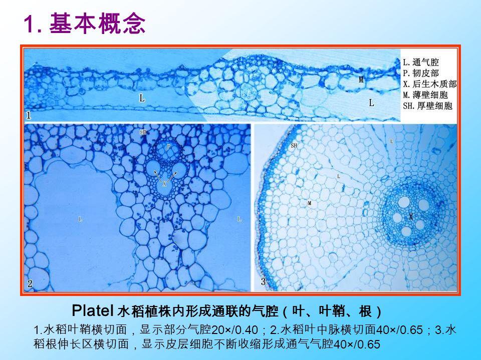 PlateI 水稻植株内形成通联的气腔(叶、叶鞘、根) 1. 水稻叶鞘横切面,显示部分气腔 20×/0.40 ; 2. 水稻叶中脉横切面 40×/0.65 ; 3. 水 稻根伸长区横切面,显示皮层细胞不断收缩形成通气气腔 40×/0.65 1. 基本概念