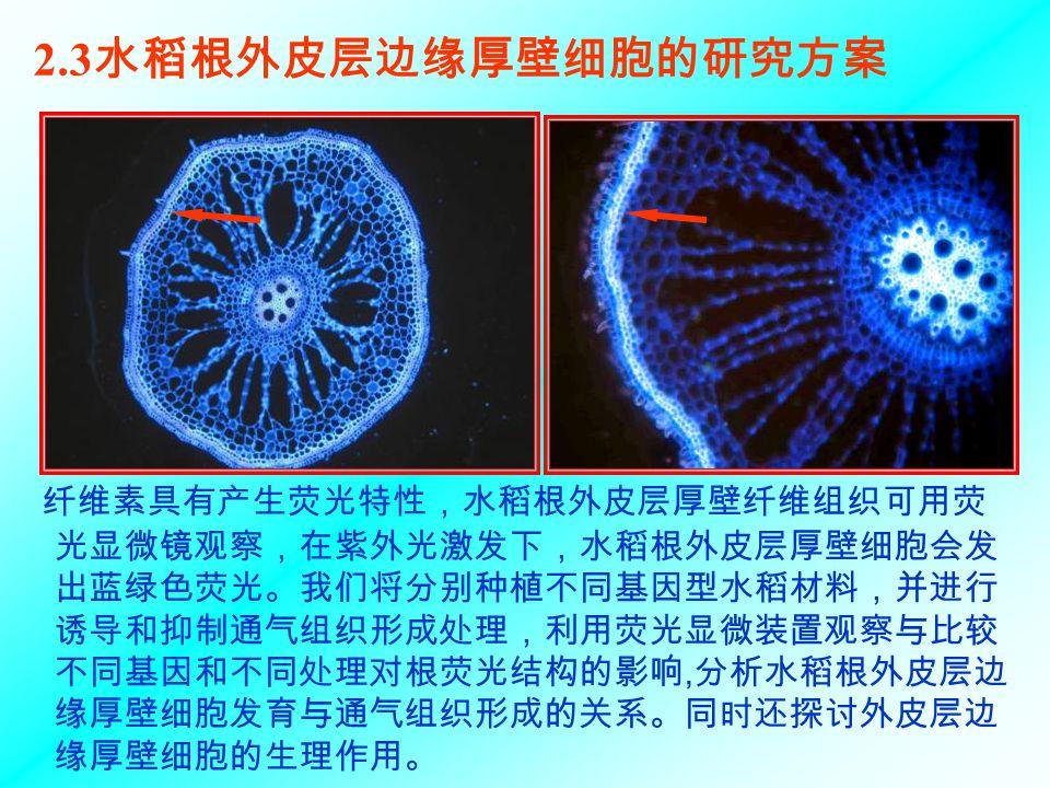 2.3 水稻根外皮层边缘厚壁细胞的研究方案 纤维素具有产生荧光特性,水稻根外皮层厚壁纤维组织可用荧 光显微镜观察,在紫外光激发下,水稻根外皮层厚壁细胞会发 出蓝绿色荧光。我们将分别种植不同基因型水稻材料,并进行 诱导和抑制通气组织形成处理,利用荧光显微装置观察与比较 不同基因和不同处理对根荧光结构的影响, 分析水稻根外皮层边 缘厚壁细胞发育与通气组织形成的关系。同时还探讨外皮层边 缘厚壁细胞的生理作用。