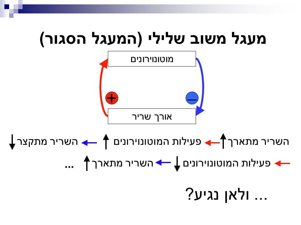 + מוטונוירונים אורך שריר  מעגל משוב שלילי (המעגל הסגור) פעילות המוטונוירונים השריר מתקצרהשריר מתארך...... ולאן נגיע?