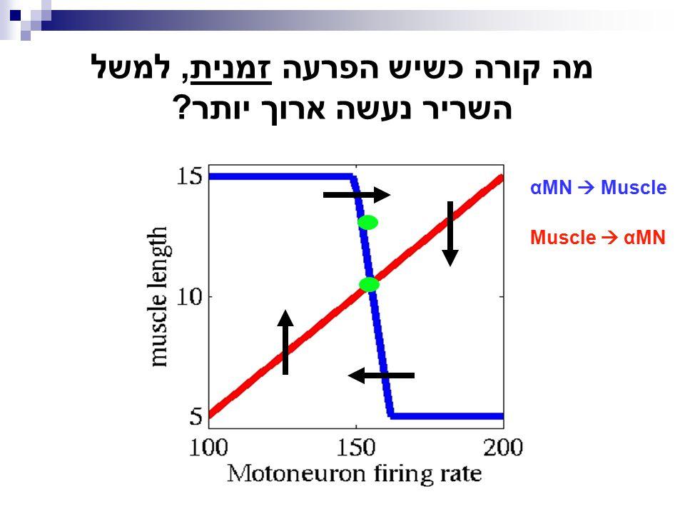 מה קורה כשיש הפרעה זמנית, למשל השריר נעשה ארוך יותר? αMN  Muscle Muscle  αMN