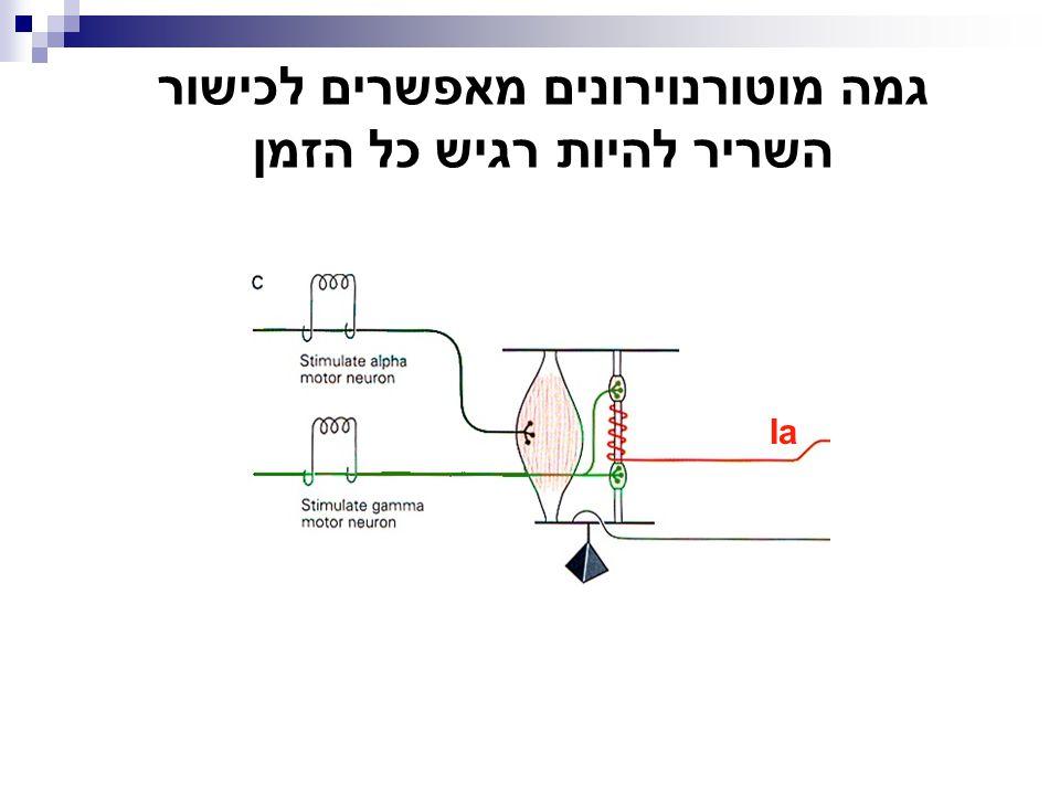 + מוטונוירונים אורך שריר  מעגל משוב שלילי (המעגל הסגור) פעילות המוטונוירונים השריר מתקצרהשריר מתארך......