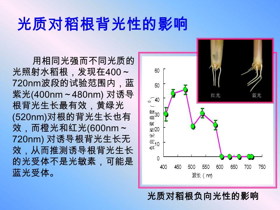 光质对稻根背光性的影响 用相同光强而不同光质的 光照射水稻根,发现在 400 ~ 720nm 波段的试验范围内,蓝 紫光 (400nm ~ 480nm) 对诱导 根背光生长最有效,黄绿光 (520nm) 对根的背光生长也有 效,而橙光和红光 (600nm ~ 720nm) 对诱导根背光生长无 效,从