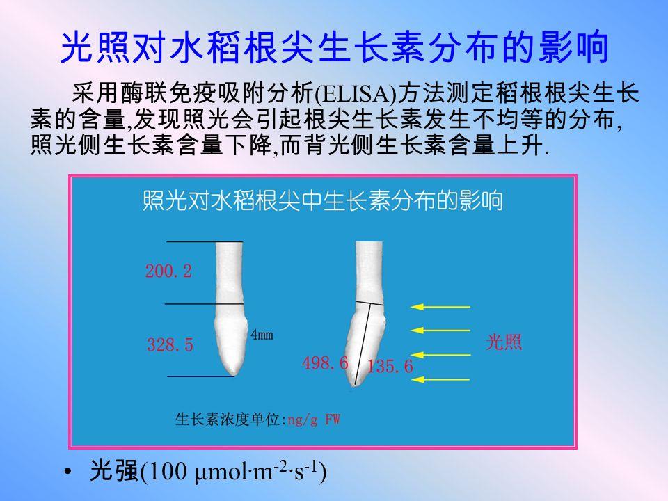 光照对水稻根尖生长素分布的影响 采用酶联免疫吸附分析 (ELISA) 方法测定稻根根尖生长 素的含量, 发现照光会引起根尖生长素发生不均等的分布, 照光侧生长素含量下降, 而背光侧生长素含量上升. 光强 (100 μmol·m -2 ·s -1 )