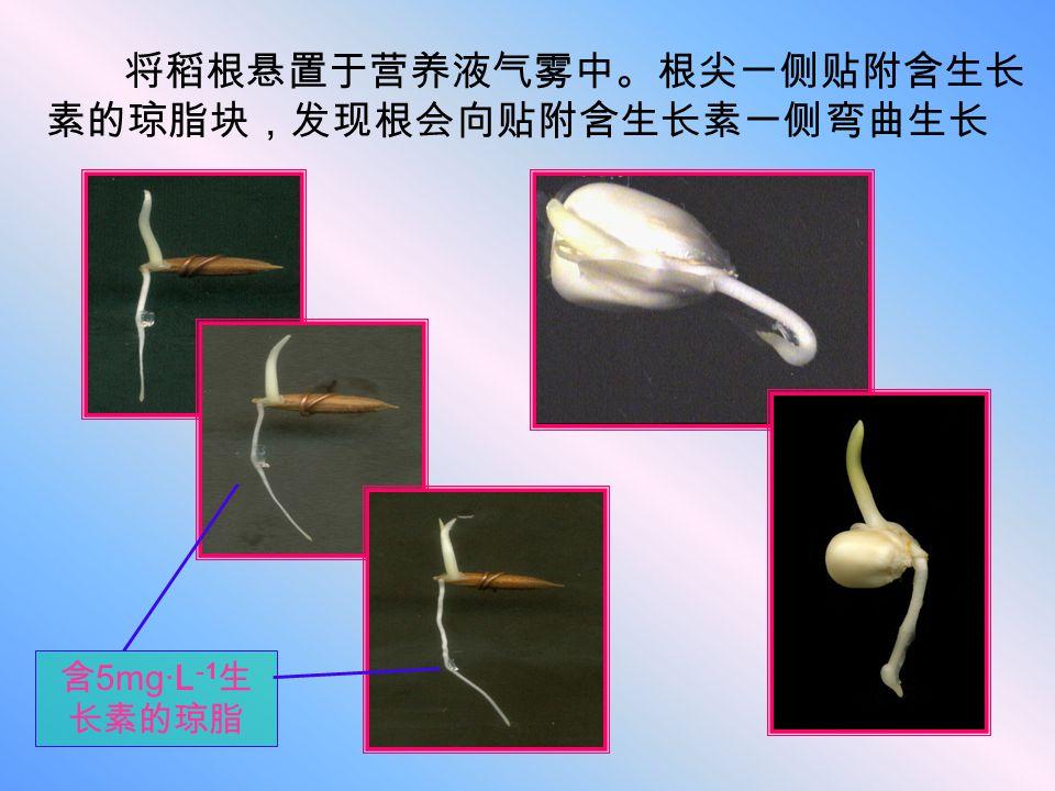 将稻根悬置于营养液气雾中。根尖一侧贴附含生长 素的琼脂块,发现根会向贴附含生长素一侧弯曲生长 含 5mg·L -1 生 长素的琼脂