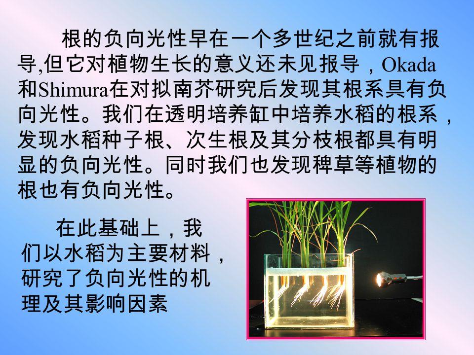 我们猜测向光性产生的机制有可能是水稻根冠细 胞细胞膜上的光受体接受光信号后,进一步激发 下游的信号转导,通过调控生长素输出载体的分 布使生长素产生极性运输,从而使生长素浓度在 向光侧和背光侧产生差异,由于生长素对细胞生 长的调控作用,使向光侧和背光侧的细胞发生不 均等生长而产生向光性或负向光性运动。当然这 其中也不排除在光照条件下生长素和生长抑制物 共同作用来调控植物的向光性反应。
