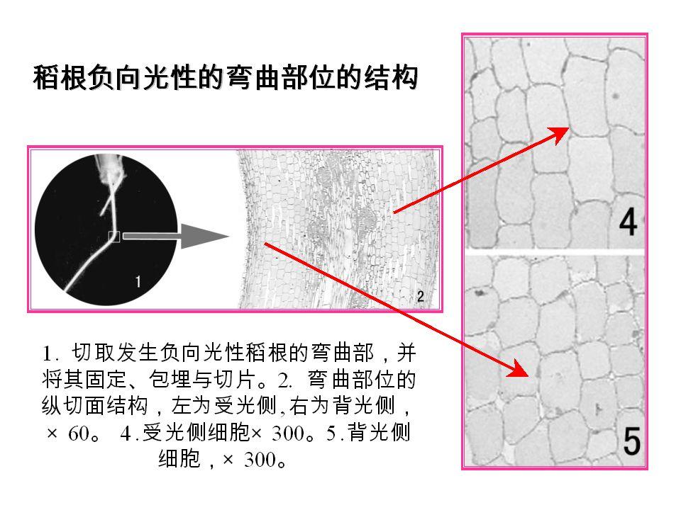 本试验的结果表明,稻根发生负向光性的 光感受部位是根冠,根冠中接受光信号的受体 可能是蓝光受体,而且生长素是水稻根负向光 性反应中重要的因子。 根冠是光感受部位的实验依据是: (1) 对根 冠遮光而对根尖其它部分照光时根不表现出负 向光性; (2) 剥除根冠而保留根尖其它部分时根 会失去负向光性; (3) 剥除根冠而保留根冠的原 始细胞时稻根在新根冠长出时会恢复负向光性。 Takahashi 等人也曾指出植物顶端 ( 茎尖或根尖 ) 是接受光后能向最适宜方向生长的部位。