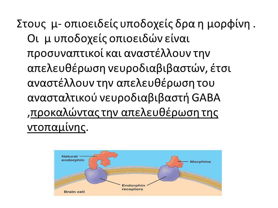 Στους μ- οπιοειδείς υποδοχείς δρα η μορφίνη. Οι μ υποδοχείς οπιοειδών είναι προσυναπτικοί και αναστέλλουν την απελευθέρωση νευροδιαβιβαστών, έτσι ανασ