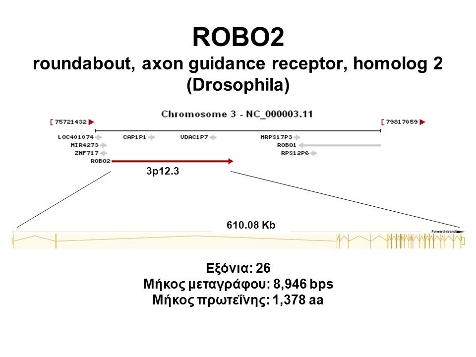 ROBO2 roundabout, axon guidance receptor, homolog 2 (Drosophila) 3p12.3 Εξόνια: 26 Μήκος μεταγράφου: 8,946 bps Μήκος πρωτεΐνης: 1,378 aa 610.08 Kb