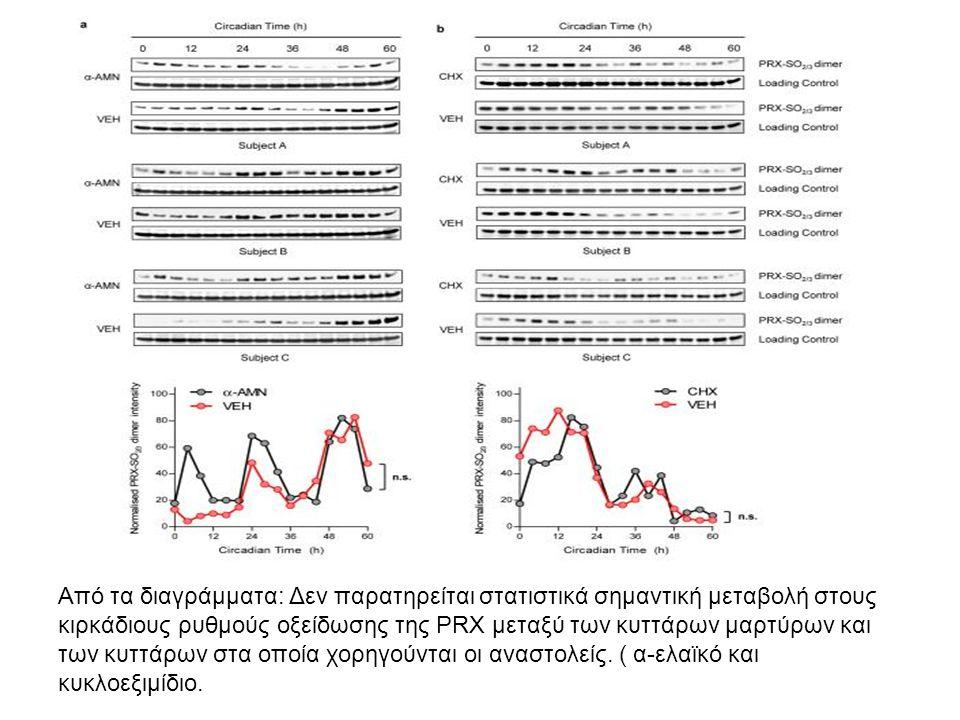Από τα διαγράμματα: Δεν παρατηρείται στατιστικά σημαντική μεταβολή στους κιρκάδιους ρυθμούς οξείδωσης της PRX μεταξύ των κυττάρων μαρτύρων και των κυτ