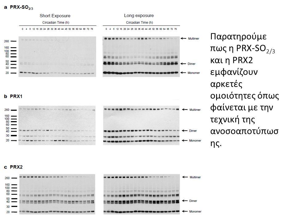 Παρατηρούμε πως η PRX-SO 2/3 και η PRX2 εμφανίζουν αρκετές ομοιότητες όπως φαίνεται με την τεχνική της ανοσοαποτύπωσ ης.