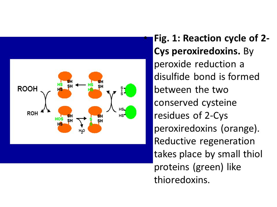 Fig. 1: Reaction cycle of 2- Cys peroxiredoxins.