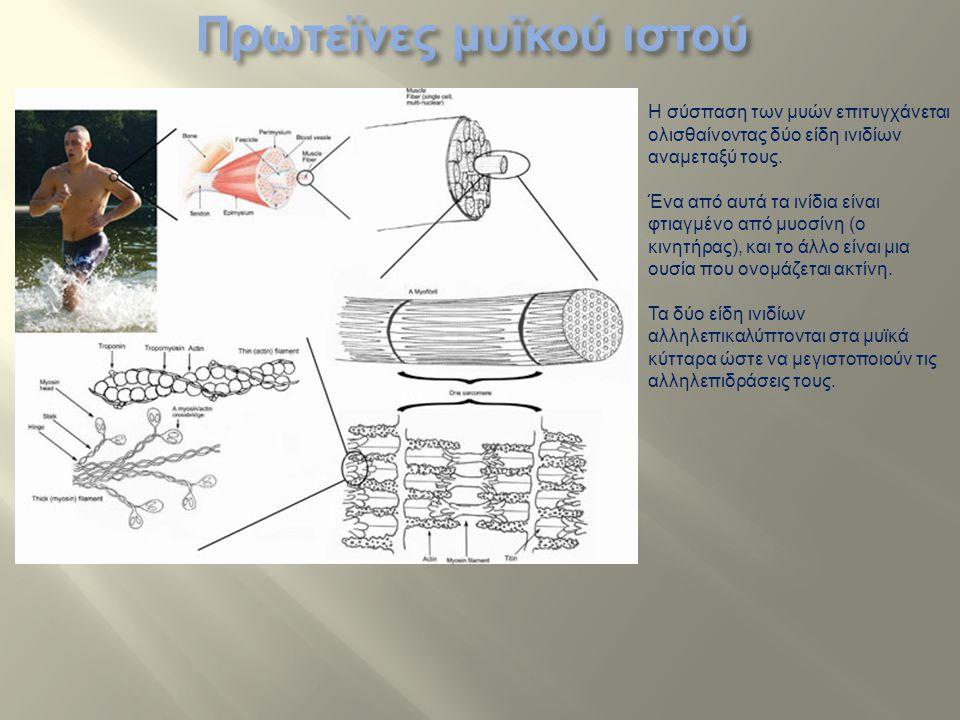 Η σύσπαση των μυών επιτυγχάνεται ολισθαίνοντας δύο είδη ινιδίων αναμεταξύ τους. Ένα από αυτά τα ινίδια είναι φτιαγμένο από μυοσίνη (ο κινητήρας), και