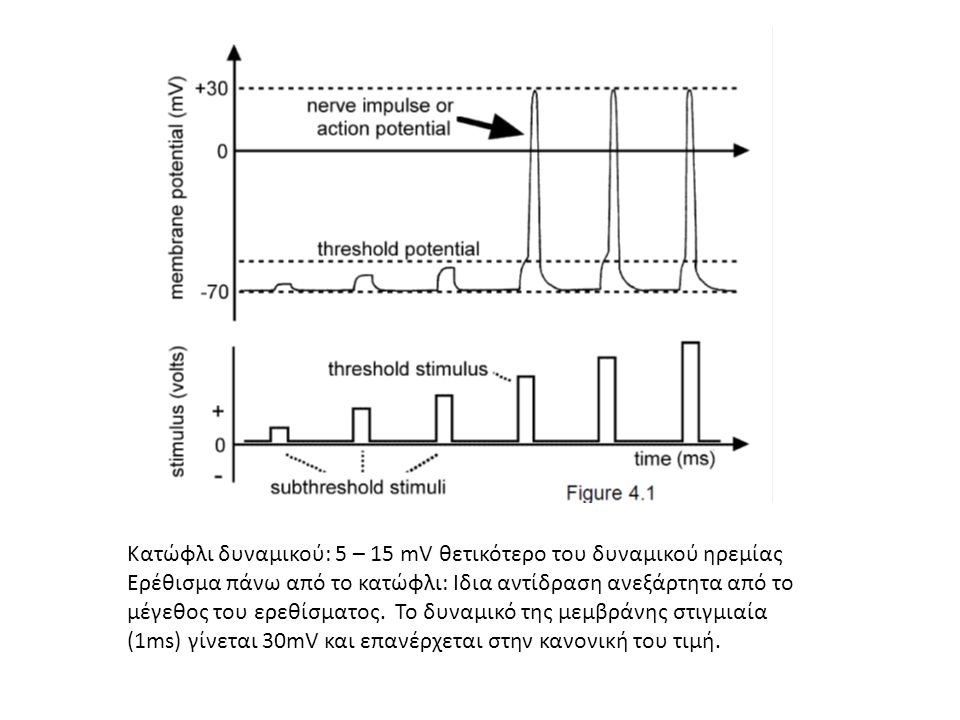 Κατώφλι δυναμικού: 5 – 15 mV θετικότερο του δυναμικού ηρεμίας Ερέθισμα πάνω από το κατώφλι: Ιδια αντίδραση ανεξάρτητα από το μέγεθος του ερεθίσματος.