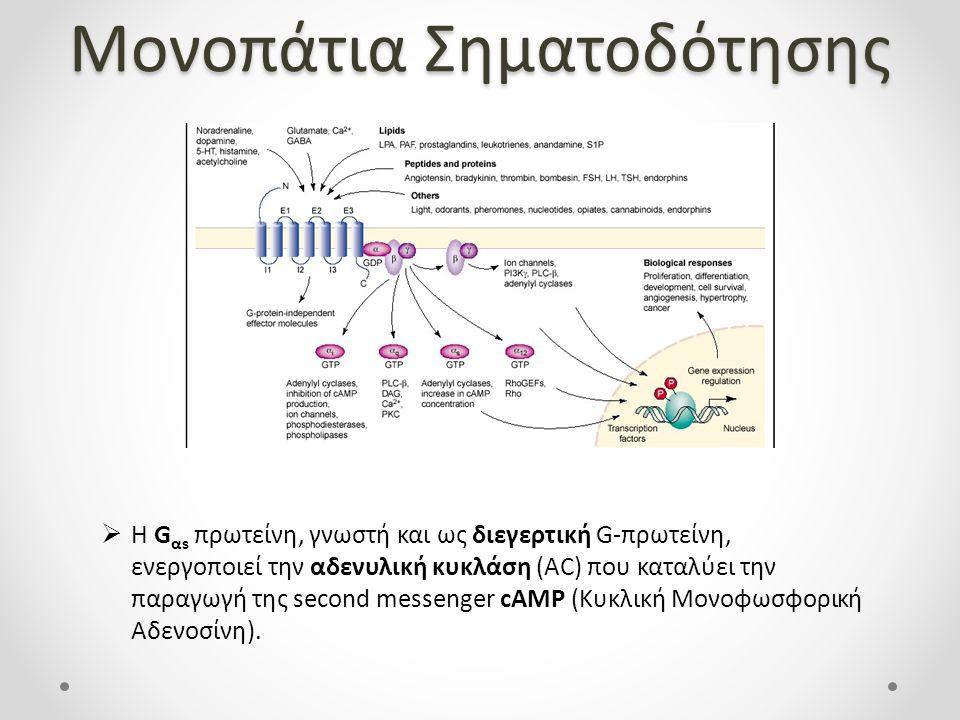 Μονοπάτια Σηματοδότησης  Η G αs πρωτείνη, γνωστή και ως διεγερτική G-πρωτείνη, ενεργοποιεί την αδενυλική κυκλάση (AC) που καταλύει την παραγωγή της second messenger cAMP (Κυκλική Μονοφωσφορική Αδενοσίνη).