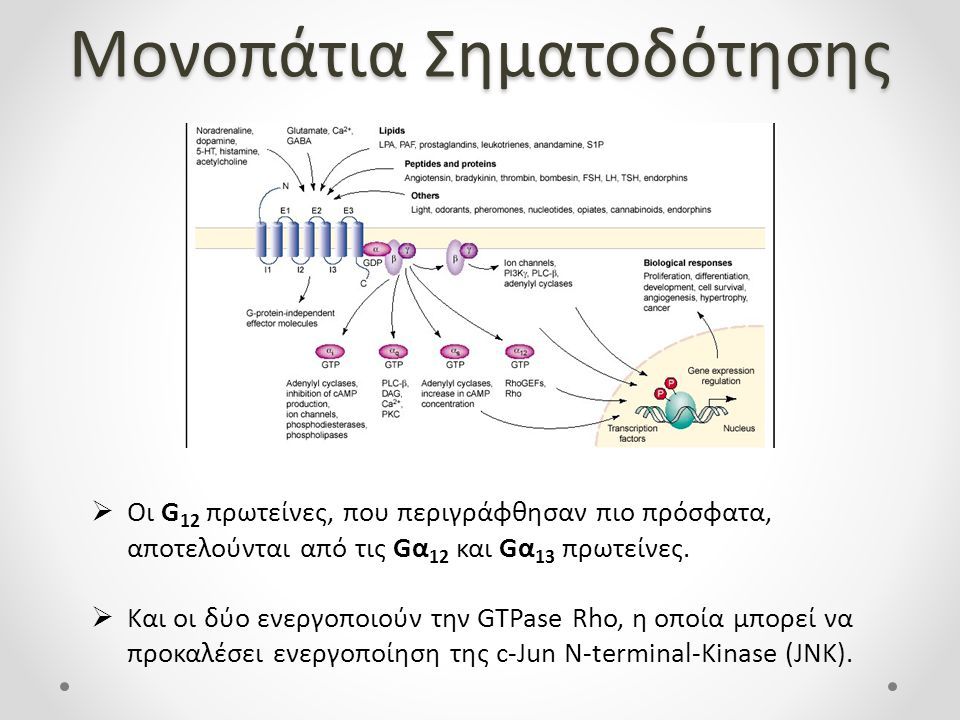 Μονοπάτια Σηματοδότησης  Οι G 12 πρωτείνες, που περιγράφθησαν πιο πρόσφατα, αποτελούνται από τις Gα 12 και Gα 13 πρωτείνες.