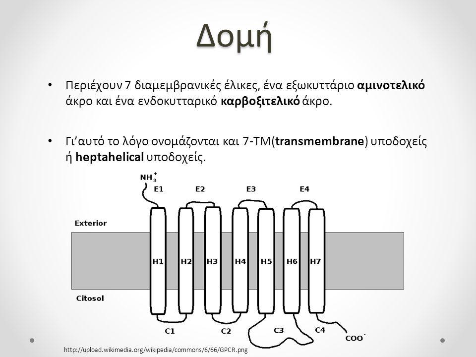 Προσδέτες Η μετατροπή των ερεθισμάτων σε σήματα πετυχαίνεται μέσω αλληλεπίδρασης των ενδοκυτταρικών μονάδων των υποδοχέων με ετεροτριμερείς G πρωτεϊνες.