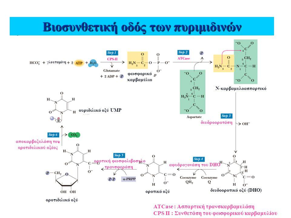 Βιοσυνθετική οδός των πυριμιδινών γλουταμίνη φωσφορικό καρβαμύλιο διυδοοροτικό οξύ (DHO) Ν-καρβαμυλοασπαρτικό οροτικό οξύ οροτιδιλικό οξύ ουριδιλικό ο