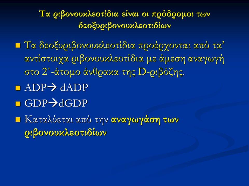 Τα ριβονουκλεοτίδια είναι οι πρόδρομοι των δεοξυριβονουκλεοτιδίων Τα δεοξυριβονουκλεοτίδια προέρχονται από τα' αντίστοιχα ριβονουκλεοτίδια με άμεση αν