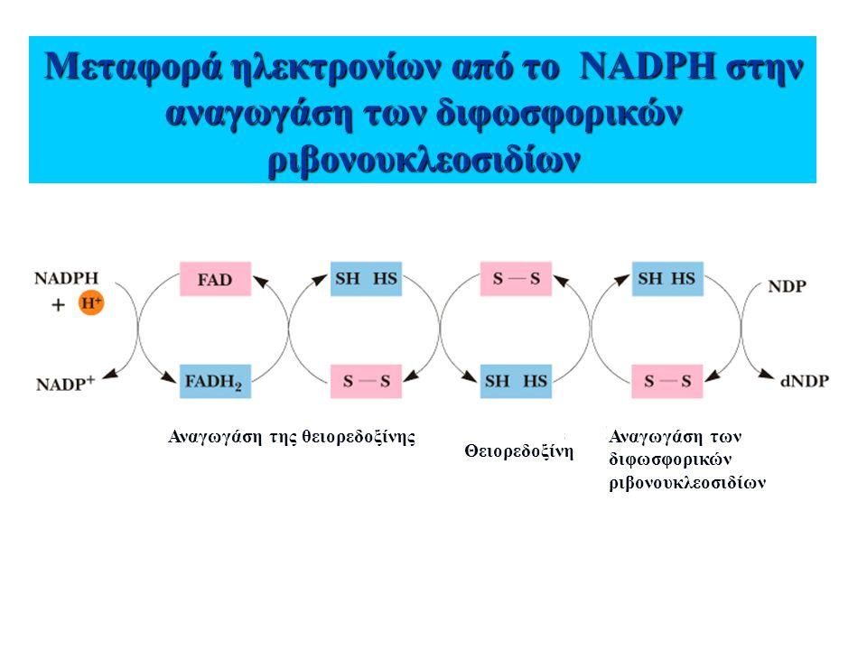Μεταφορά ηλεκτρονίων από το NADPH στην αναγωγάση των διφωσφορικών ριβονουκλεοσιδίων Αναγωγάση της θειορεδοξίνης Θειορεδοξίνη Αναγωγάση των διφωσφορικώ