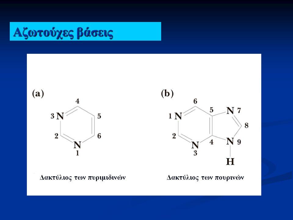 Βάσεις πυριμιδίνης Βάσεις πουρίνης Κυτοσίνη (2-οξυ-4-άμινο- Πυριμιδίνη) Ουρακίλη (2-οξυ-4-οξυ- Πυριμιδίνη) Θυμίνη (2-οξυ-4-οξυ-5-μεθυλο- Πυριμιδίνη) Αδενίνη (2-οξυ-4-άμινο- Πυριμιδίνη) Γουανίνη (2-αμινο-6-οξυ- Πυριμιδίνη)