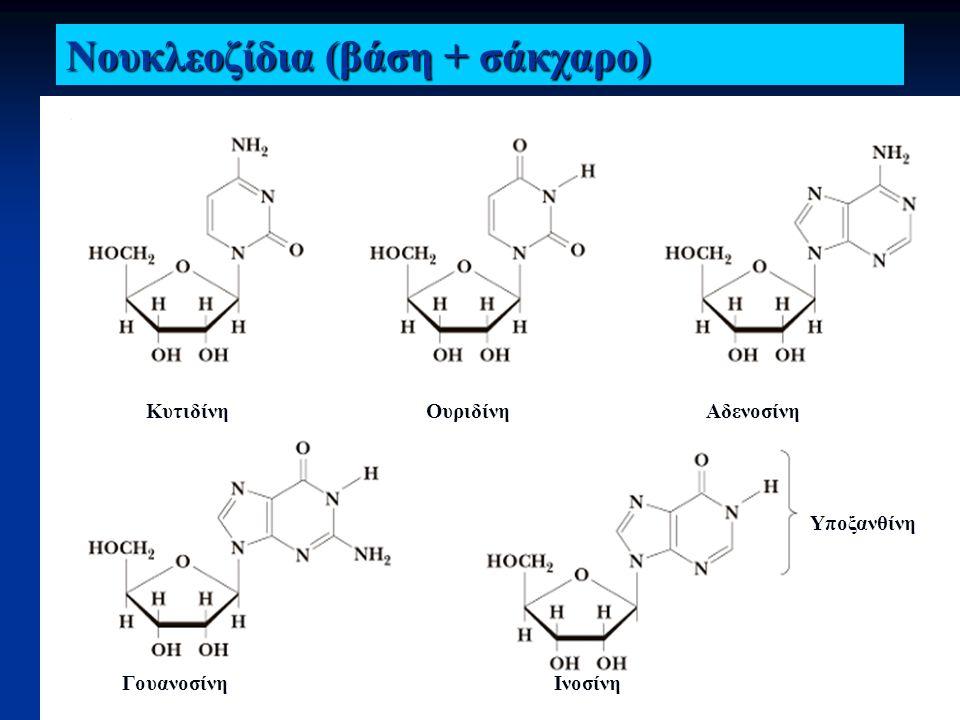 Νουκλεοζίδια ΚυτιδίνηΟυριδίνηΑδενοσίνη ΓουανοσίνηΙνοσίνη Υποξανθίνη Νουκλεοζίδια (βάση + σάκχαρο)