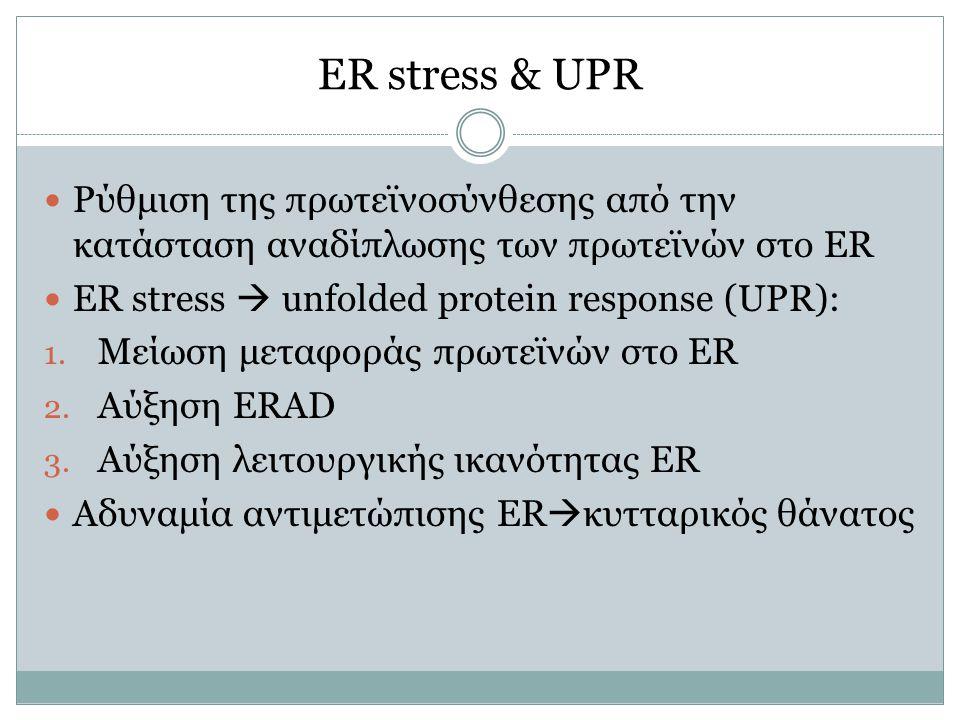 ER stress & UPR Ρύθμιση της πρωτεϊνοσύνθεσης από την κατάσταση αναδίπλωσης των πρωτεϊνών στο ER ER stress  unfolded protein response (UPR): 1. Μείωση