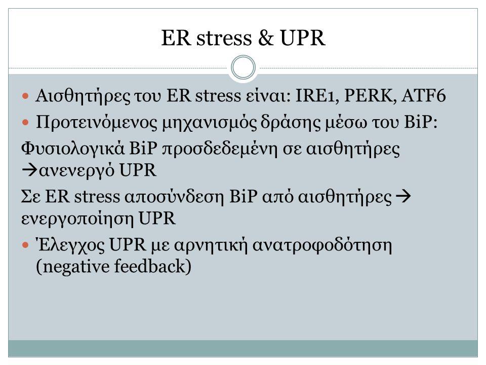 ER stress & UPR Αισθητήρες του ER stress είναι: IRE1, PERK, ATF6 Προτεινόμενος μηχανισμός δράσης μέσω του BiP: Φυσιολογικά BiP προσδεδεμένη σε αισθητήρες  ανενεργό UPR Σε ER stress αποσύνδεση BiP από αισθητήρες  ενεργοποίηση UPR Έλεγχος UPR με αρνητική ανατροφοδότηση (negative feedback)