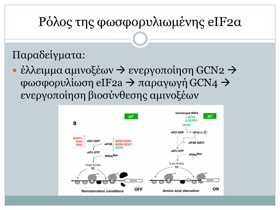 Ρόλος της φωσφορυλιωμένης eIF2α Παραδείγματα: έλλειμμα αμινοξέων  ενεργοποίηση GCN2  φωσφορυλίωση eIF2a  παραγωγή GCN4  ενεργοποίηση βιοσύνθεσης αμινοξέων