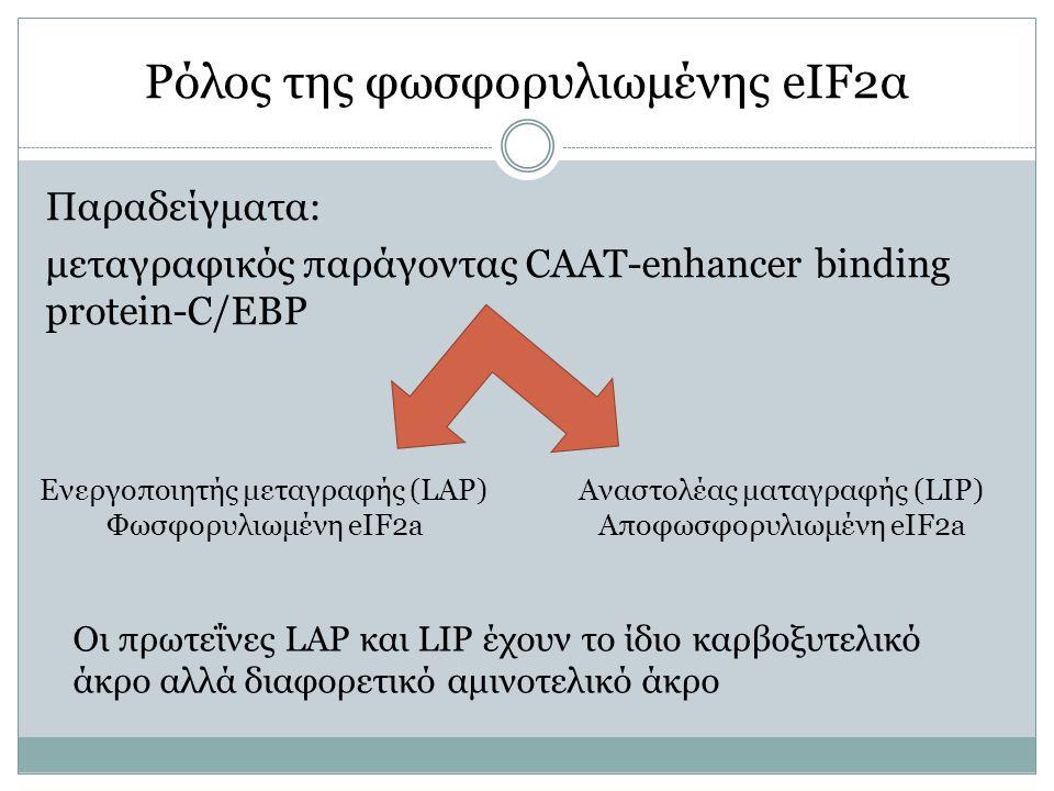 Ρόλος της φωσφορυλιωμένης eIF2α Παραδείγματα: μεταγραφικός παράγοντας CAAT-enhancer binding protein-C/EBP Ενεργοποιητής μεταγραφής (LAP) Φωσφορυλιωμένη eIF2a Αναστολέας ματαγραφής (LIP) Αποφωσφορυλιωμένη eIF2a Οι πρωτεΐνες LAP και LIP έχουν το ίδιο καρβοξυτελικό άκρο αλλά διαφορετικό αμινοτελικό άκρο