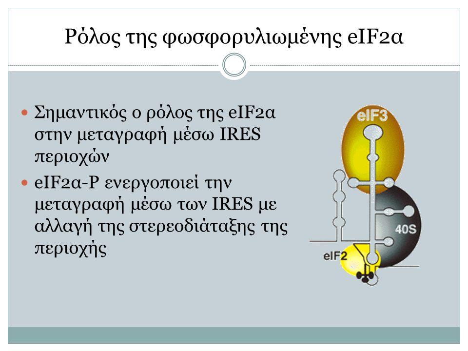 Ρόλος της φωσφορυλιωμένης eIF2α Σημαντικός ο ρόλος της eIF2α στην μεταγραφή μέσω IRES περιοχών eIF2α-P ενεργοποιεί την μεταγραφή μέσω των IRES με αλλαγή της στερεοδιάταξης της περιοχής