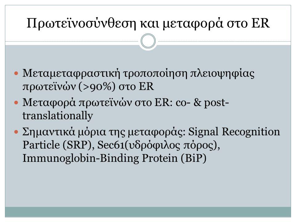 Πρωτεϊνοσύνθεση και μεταφορά στο ER Μεταμεταφραστική τροποποίηση πλειοψηφίας πρωτεϊνών (>90%) στο ER Μεταφορά πρωτεϊνών στο ER: co- & post- translationally Σημαντικά μόρια της μεταφοράς: Signal Recognition Particle (SRP), Sec61(υδρόφιλος πόρος), Immunoglobin-Binding Protein (BiP)