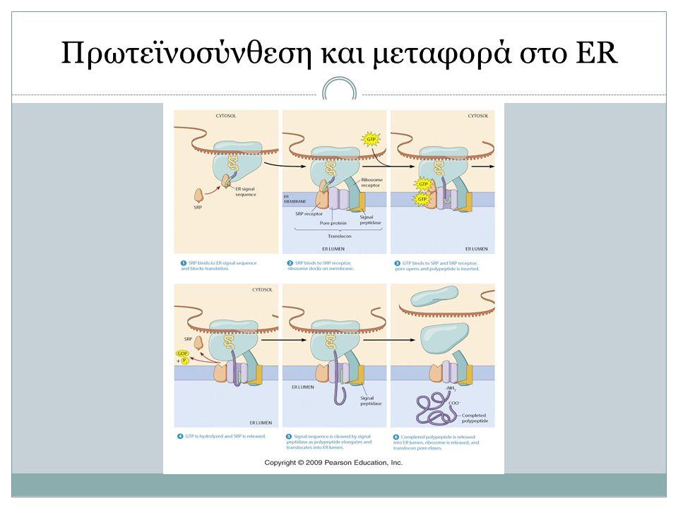 Πρωτεϊνοσύνθεση και μεταφορά στο ER