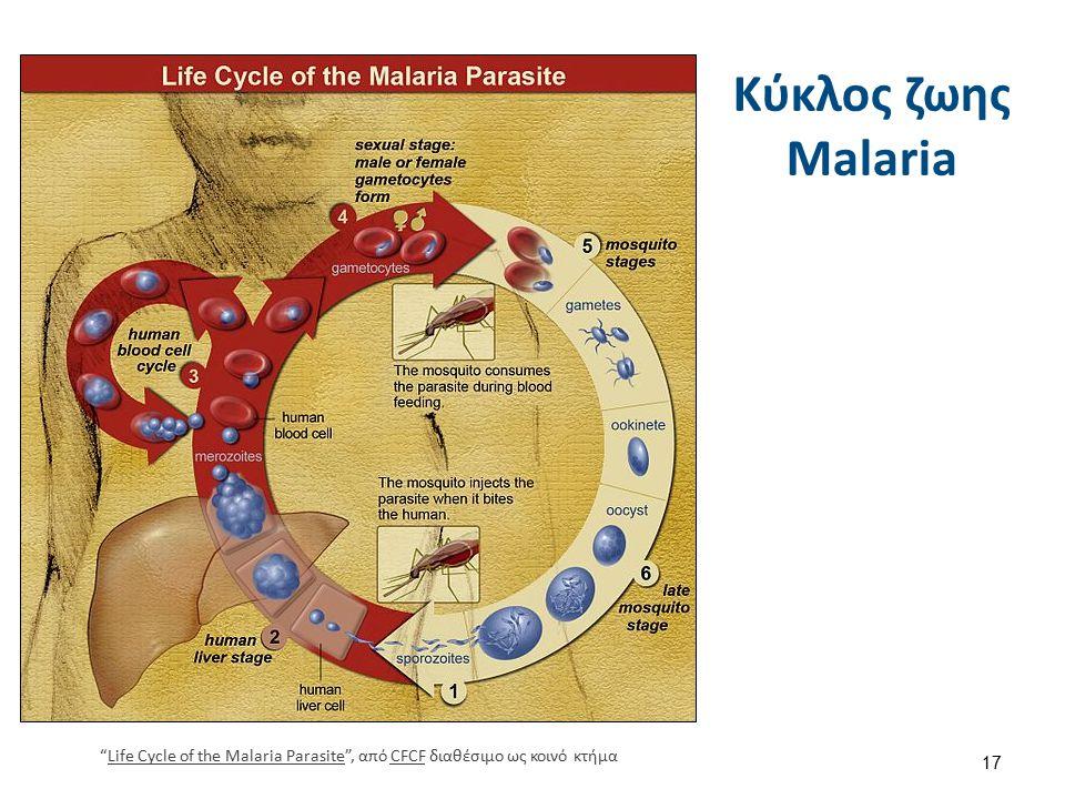 """Κύκλος ζωης Malaria 17 """"Life Cycle of the Malaria Parasite"""", από CFCF διαθέσιμο ως κοινό κτήμαLife Cycle of the Malaria ParasiteCFCF"""