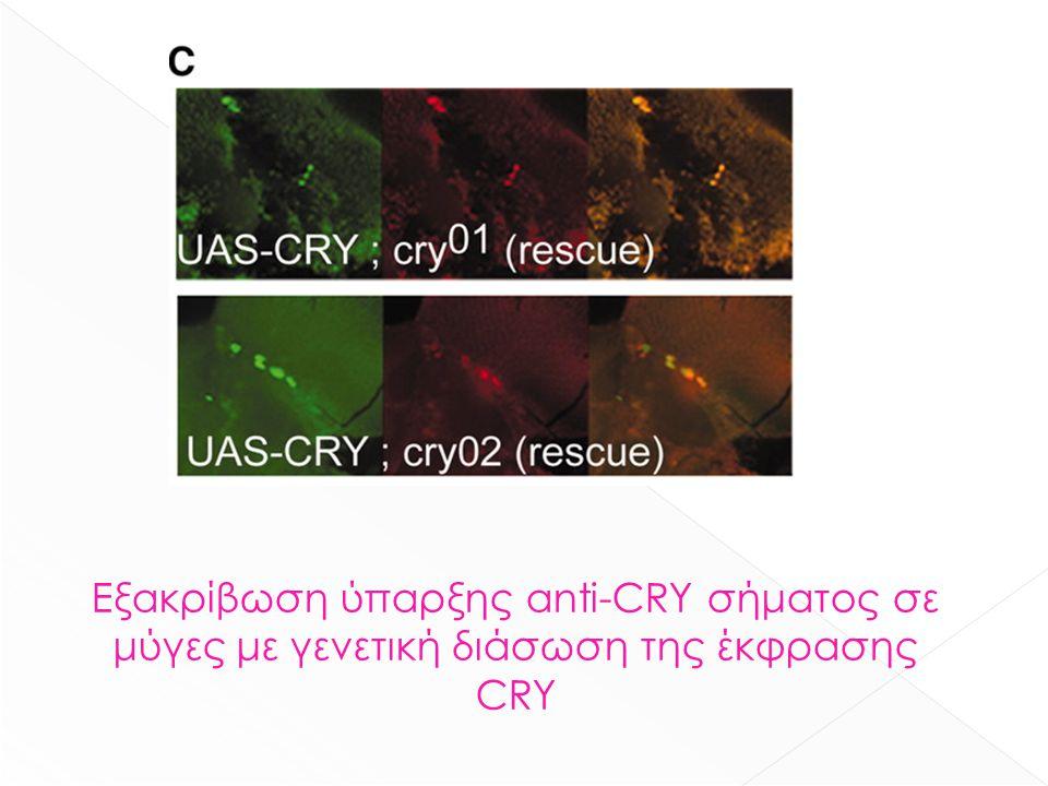 Εξακρίβωση ύπαρξης anti-CRY σήματος σε μύγες με γενετική διάσωση της έκφρασης CRY
