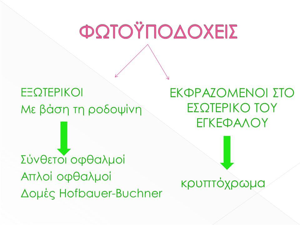 ΕΞΩΤΕΡΙΚΟΙ Με βάση τη ροδοψίνη Σύνθετοι οφθαλμοί Απλοί οφθαλμοί Δομές Hofbauer-Buchner ΕΚΦΡΑΖΟΜΕΝΟΙ ΣΤΟ ΕΣΩΤΕΡΙΚΟ ΤΟΥ ΕΓΚΕΦΑΛΟΥ κρυπτόχρωμα