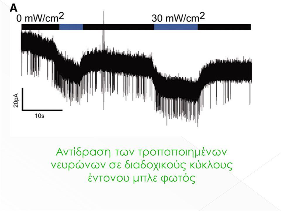 Αντίδραση των τροποποιημένων νευρώνων σε διαδοχικούς κύκλους έντονου μπλε φωτός