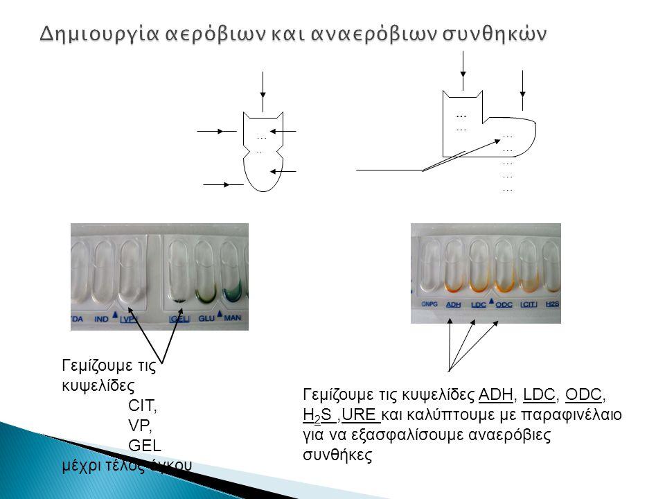 Γεμίζουμε τις κυψελίδες CIT, VP, GEL μέχρι τέλος όγκου Γεμίζουμε τις κυψελίδες ADH, LDC, ODC, H 2 S,URE και καλύπτουμε με παραφινέλαιο για να εξασφαλίσουμε αναερόβιες συνθήκες Αερόβιες συνθήκες Αναερόβιες συνθήκες …..