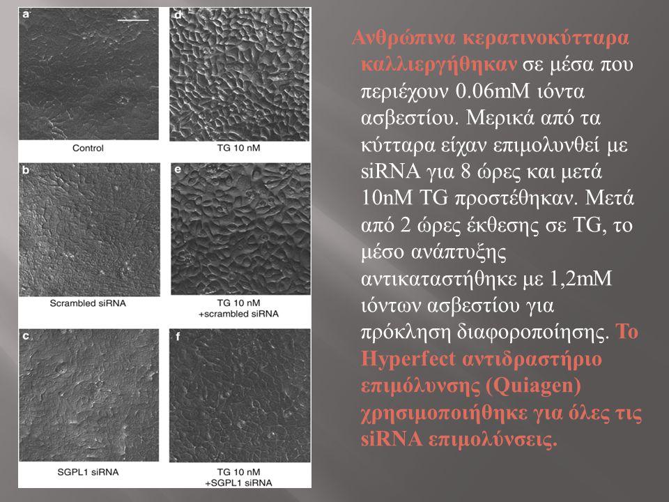 Ανθρώπινα κερατινοκύτταρα καλλιεργήθηκαν σε μέσα που περιέχουν 0.06mΜ ιόντα ασβεστίου.