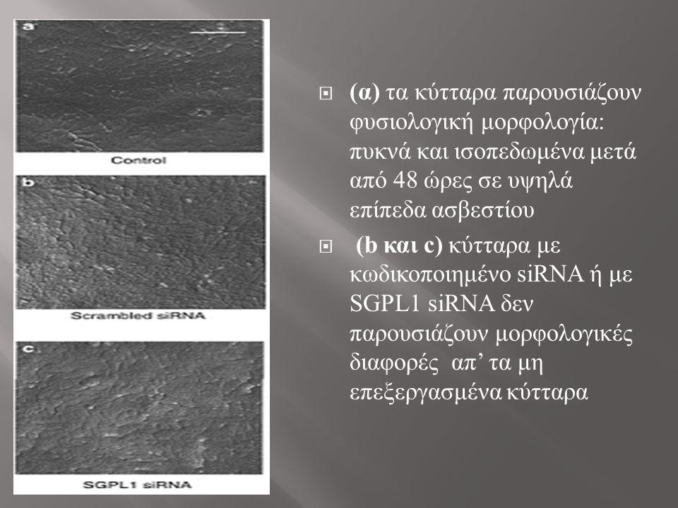  (α) τα κύτταρα παρουσιάζουν φυσιολογική μορφολογία: πυκνά και ισοπεδωμένα μετά από 48 ώρες σε υψηλά επίπεδα ασβεστίου  (b και c) κύτταρα με κωδικοποιημένο siRNA ή με SGPL1 siRNA δεν παρουσιάζουν μορφολογικές διαφορές απ' τα μη επεξεργασμένα κύτταρα