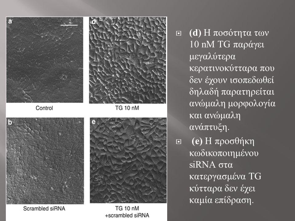  (d) Η ποσότητα των 10 nΜ TG παράγει μεγαλύτερα κερατινοκύτταρα που δεν έχουν ισοπεδωθεί δηλαδή παρατηρείται ανώμαλη μορφολογία και ανώμαλη ανάπτυξη.