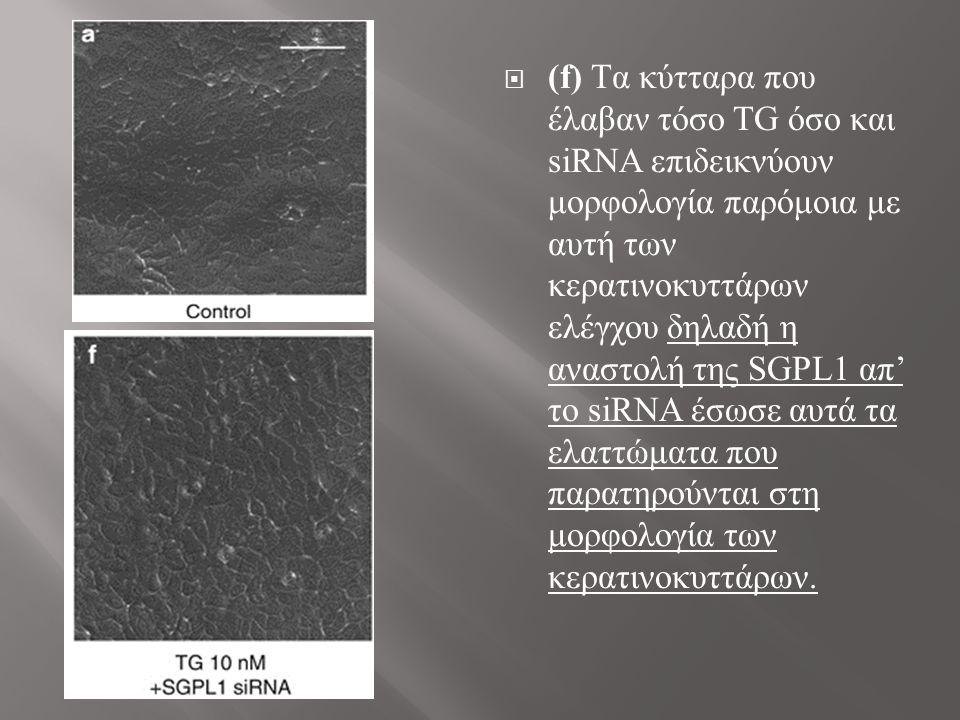  (f) Tα κύτταρα που έλαβαν τόσο TG όσο και siRNA επιδεικνύουν μορφολογία παρόμοια με αυτή των κερατινοκυττάρων ελέγχου δηλαδή η αναστολή της SGPL1 απ' το siRNA έσωσε αυτά τα ελαττώματα που παρατηρούνται στη μορφολογία των κερατινοκυττάρων.